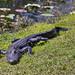 alligator on the move by Abby Leigh photos