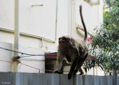 A monkey on our fence