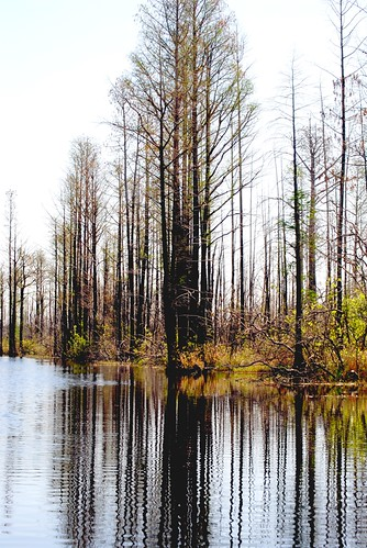 Swamp Trees in early Spring