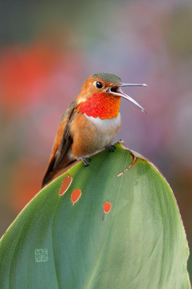 Allen's-Hummingbird-041814