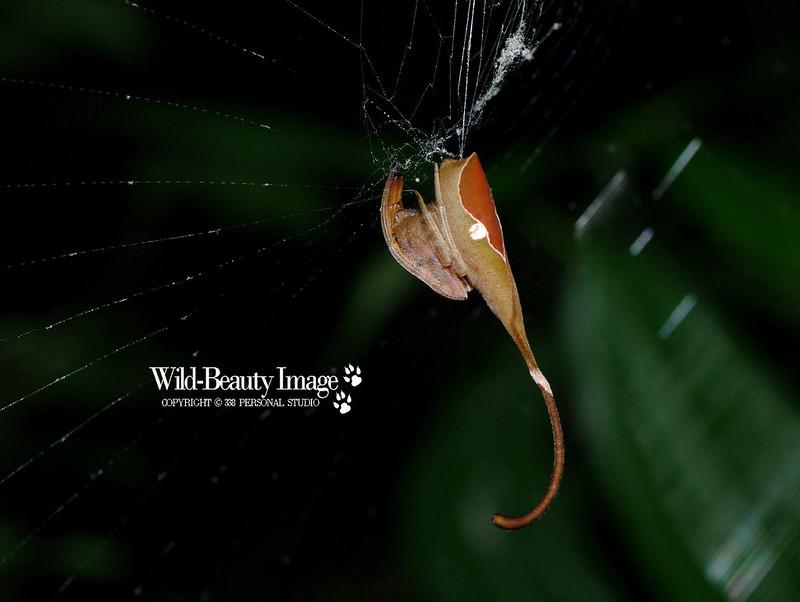 像蠍又像蛛 -- 枯葉尖鼻蛛