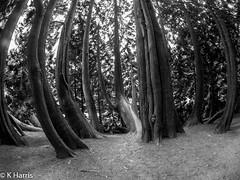 Bendy Trees Stourhead