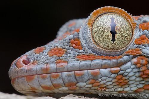 Tokay Gecko - Gekko gecko_MG_0947 copy