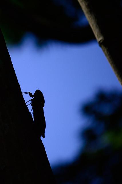 セミ Cicada