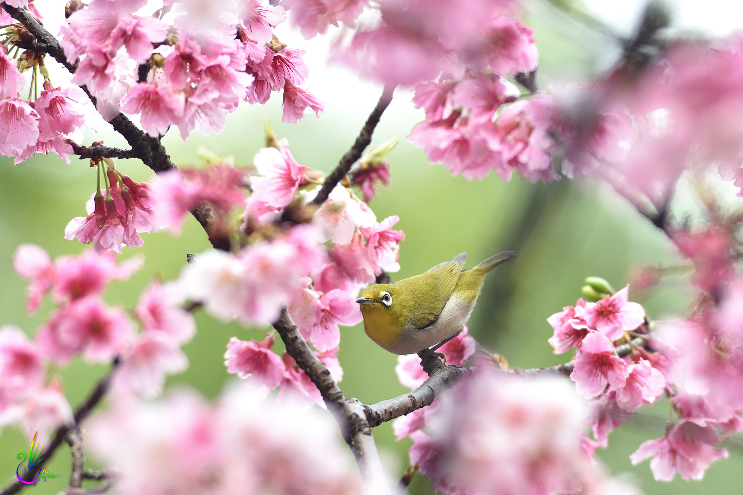 Sakura_White-eye_4836