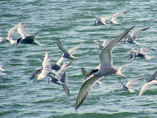The Terns have Returned!