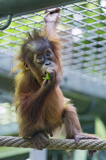 baby orangutan eating on the rope