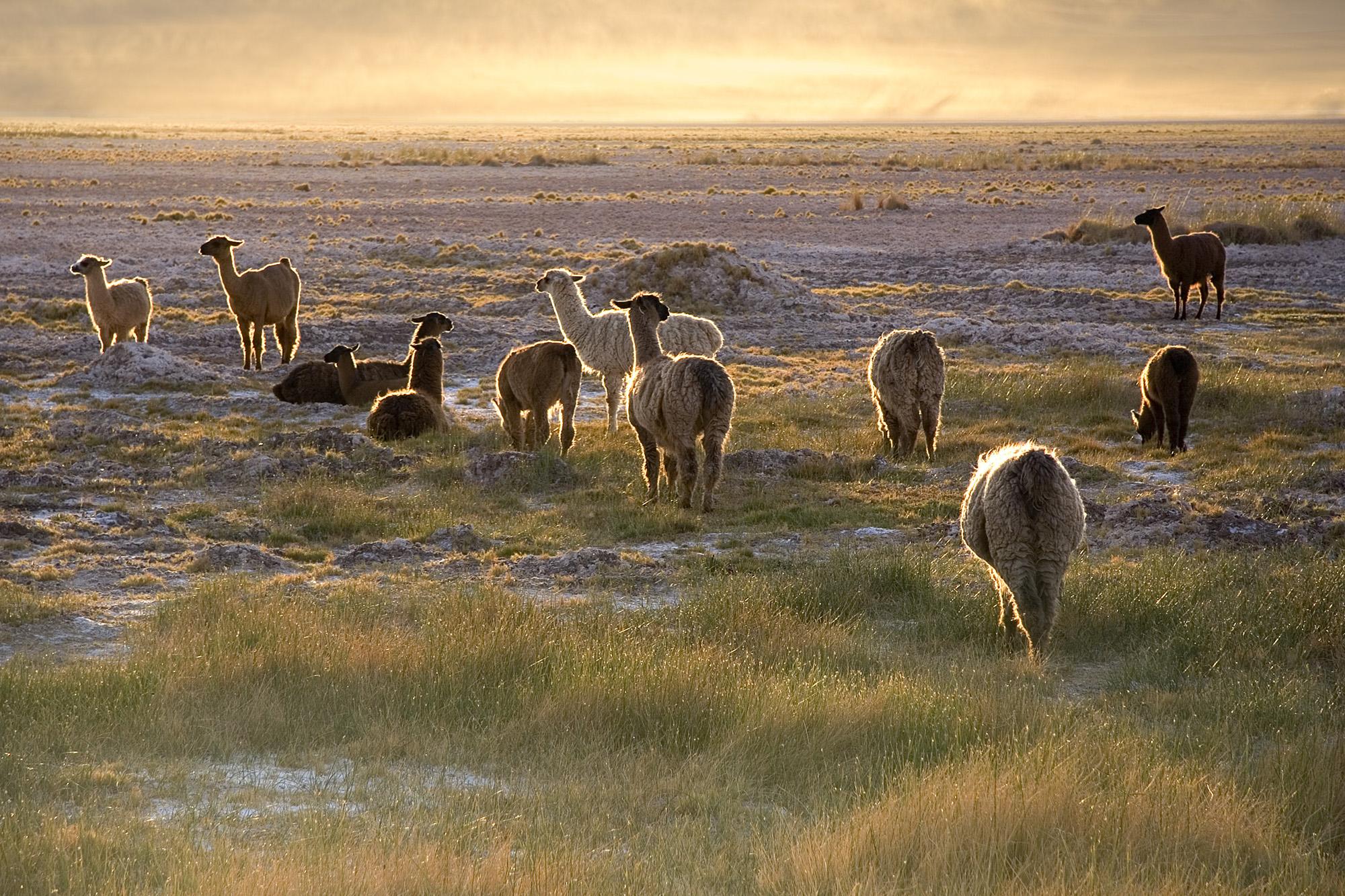 Llamas en el desierto de Atacama, norte de Chile. Autor, Luca Galuzzi