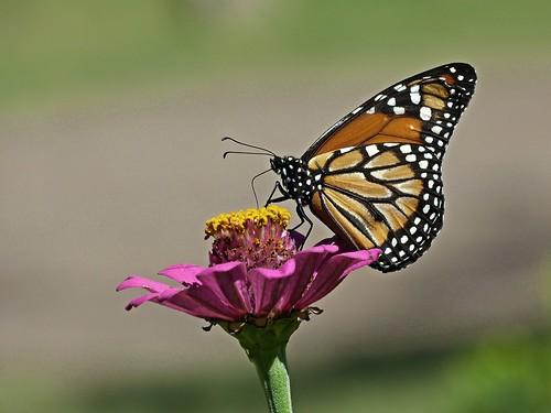 Monarca en el Jardín Botánico
