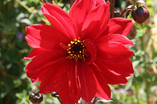 Garden in Red - Dahlia 'Bishop of Llandaff'