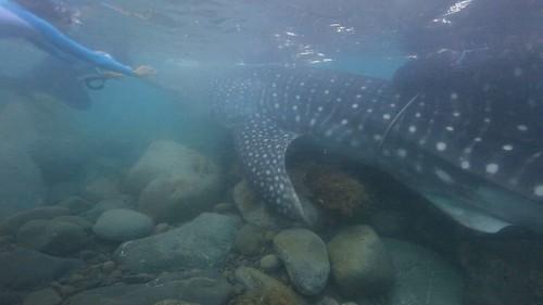 照片取自我們的島〈鯨鯊要回家〉