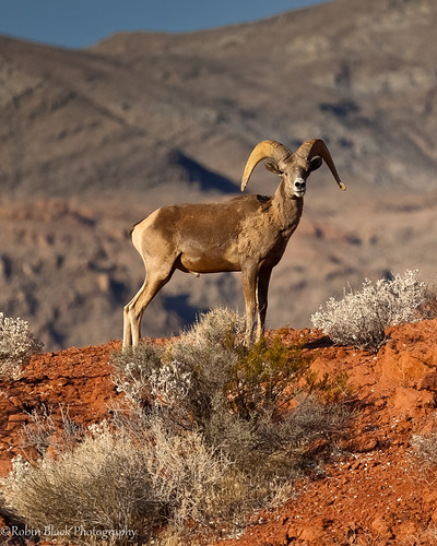 Young Bighorn Ram (Valley of Fire, NV)