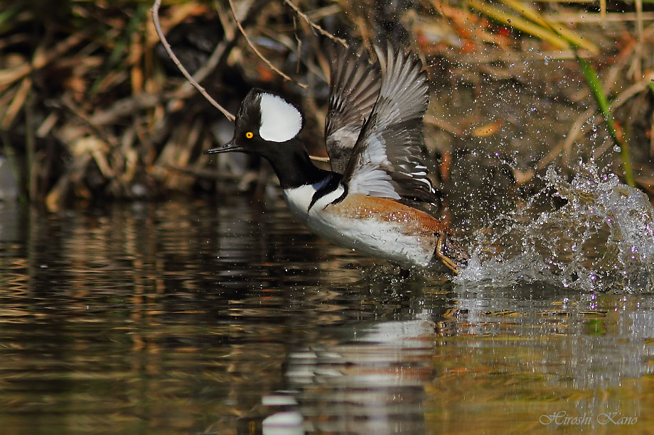 Hooded Merganser 052813-10