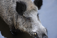 animal, peccary, wild boar, domestic pig, pig, snout, fauna, close-up, pig-like mammal, wildlife,