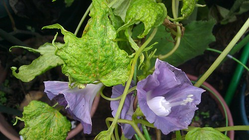 Ipomoea nil Q1099 Plant 10 by Gerris2