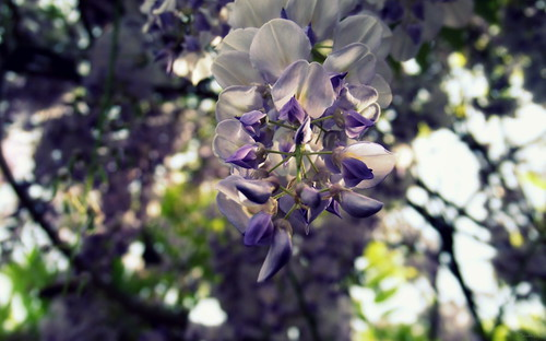 Wisteria - a color from the memory