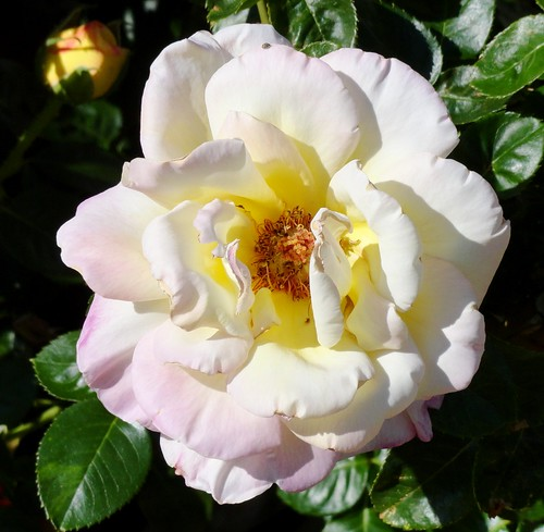 A pale pink Rose in my garden