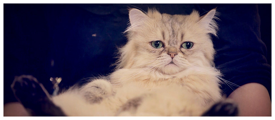 Fluffy Persian Cat in Ikebukuro Cat Cafe 299, Tokyo - Japan