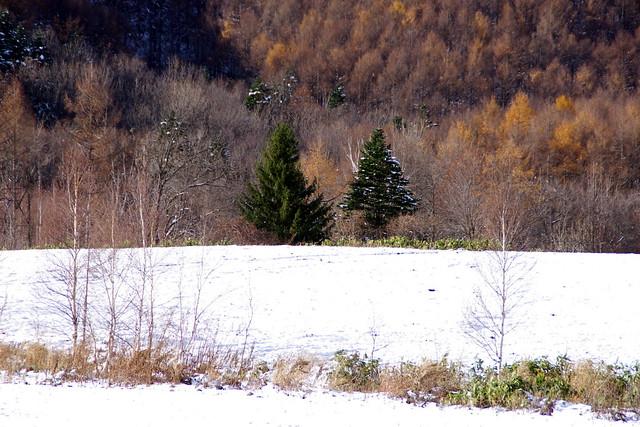 初冬のカラ松2