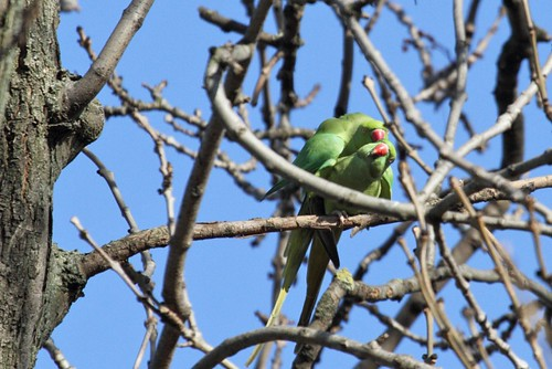 Cuervos del bebé en nuestro medio - el nido enredado