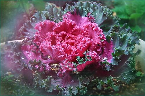 葉牡丹      flowering kale