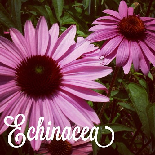 Garden Alphabet: Echinacea | A Gardener's Notebook with Douglas E. Welch