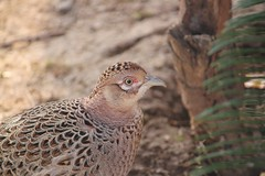 animal, nature, fauna, close-up, ruffed grouse, phasianidae, beak, bird, galliformes, wildlife,
