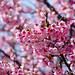 cherry blossom by aelx911