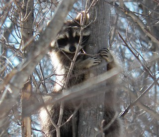 Raccoon 2014 04 07