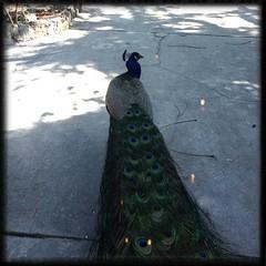 The Roaming Peacock