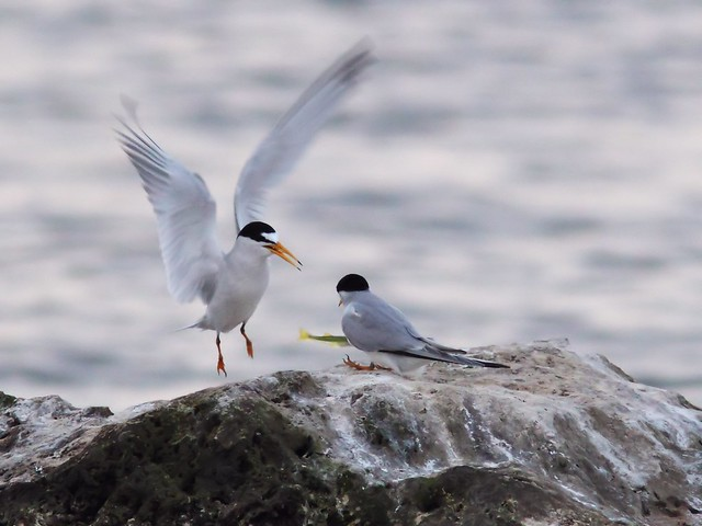 Least Tern feeding sequence 03-20140416