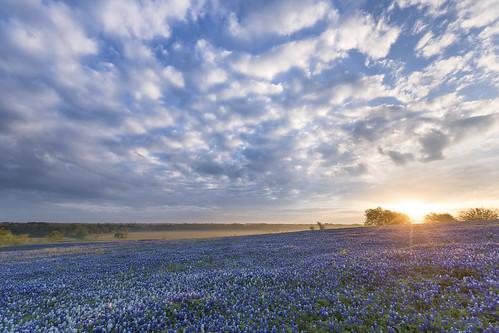 Bluebonnet Sunrise - Ennis, Texas