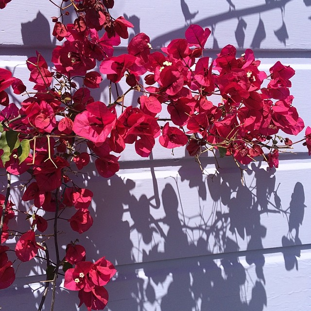 Bougainvillea. #sanfrancisco #california #flowers #nofilter