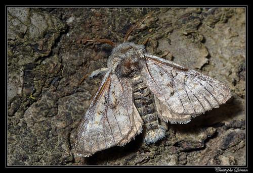 Colocasia coryli