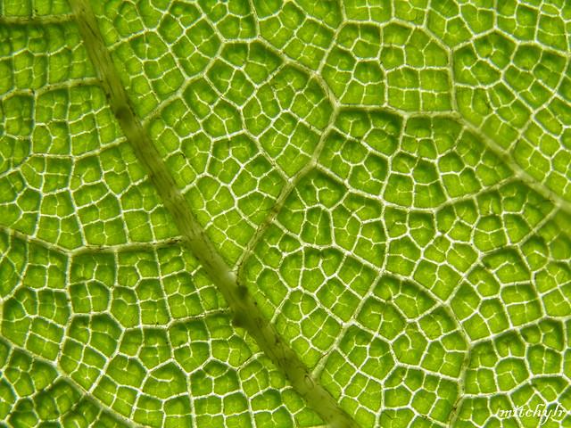 Gunnera Leaf 3