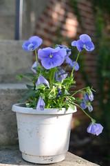 flowerpot, flower, purple, violet, wildflower, flora, petal,