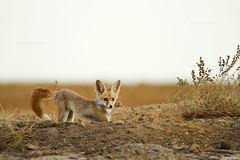 desert Fox Pup