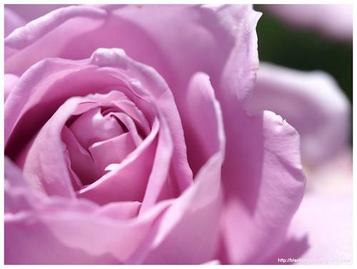Rose 140528 #08