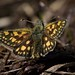 Chequered skipper (Carterocephalus palaemon) by saltholme