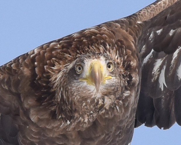 A portrait of a flying white-tailed sea eagle