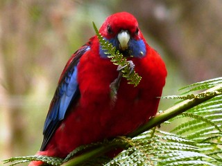Crimson Rosella in the shade