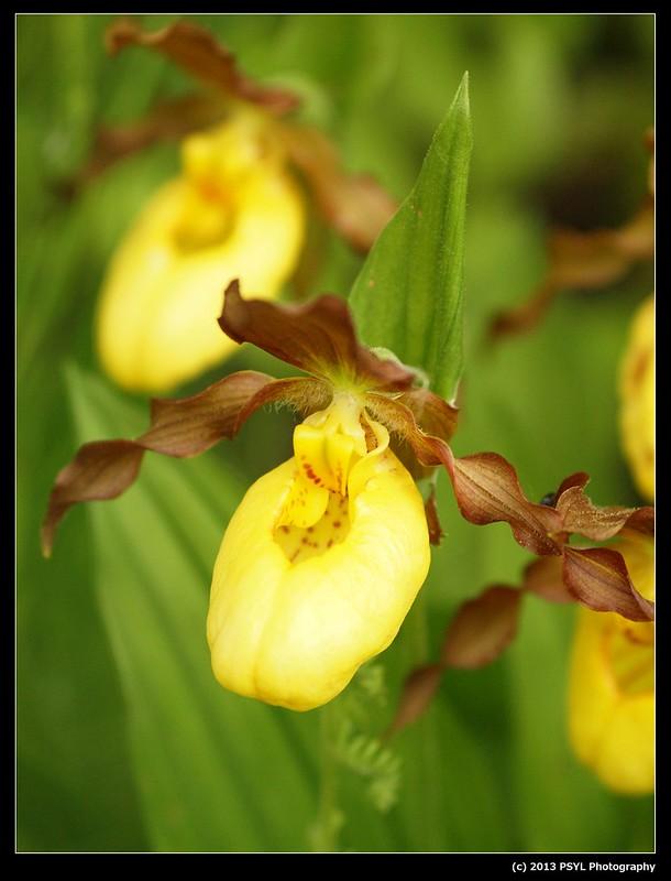 Yellow Lady's-slipper (Cyripedium parviflorum)
