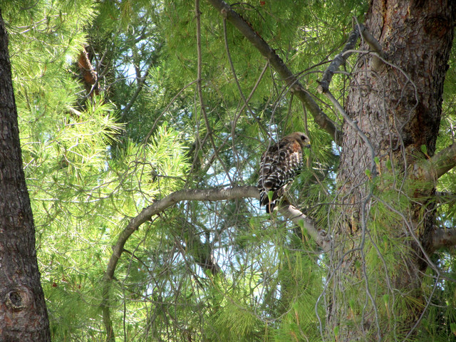 beautiful hawk on mulholland highway