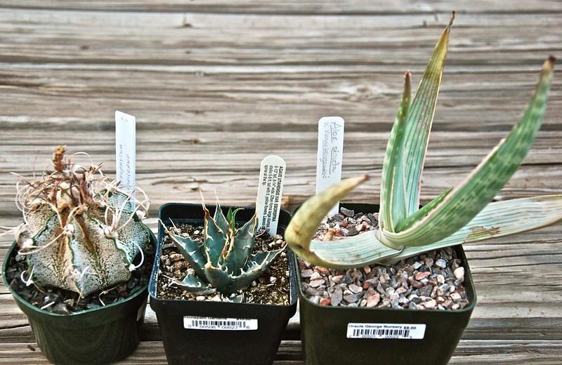 Astrophytum capricorne, Agave utahenses var eborespina, Aloe striate var, karasbergensis