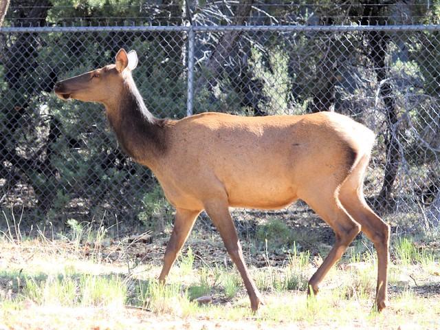 Elk cow 20130620