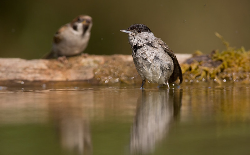Blackcap bathes as Tree Sparrows looks on.