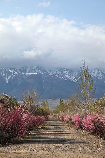 The road with flowers leading to Tian Shan mountains, Barkol バルクル、天山山脈に通じる花の道