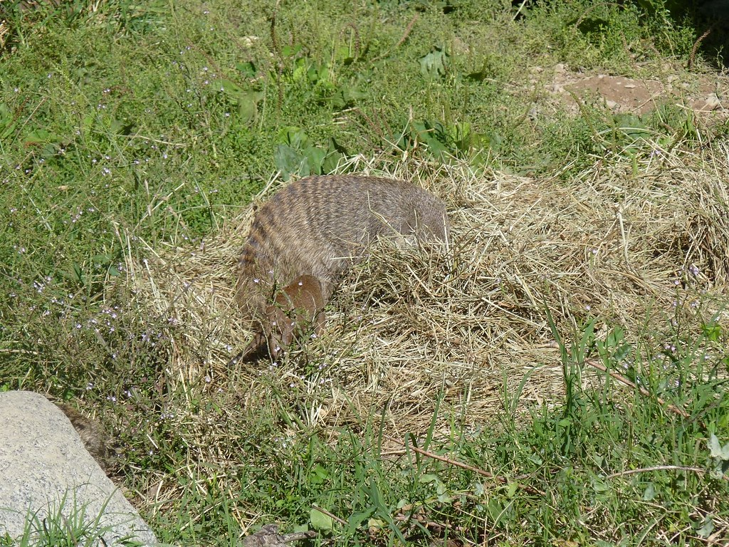 Banded Mongoose with her puppy (Mungos mungo) | The Banded M