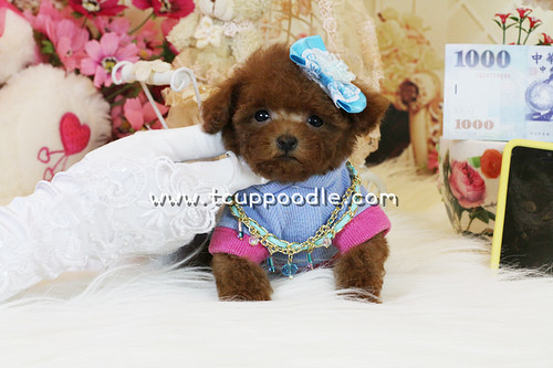 toy poodle,teacup poodle,tiny toy poodle,pedigree poodle,poodle for sale,poodle breeder,beautiful poodle puppy,the smallest dog by 大熊媽媽