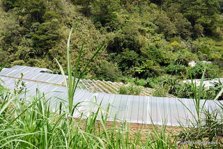 lily-of-the-valley-organic-farms-benguet.jpg